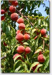 peaches_small
